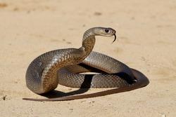 Australian Highly venomous Eastern Brown Snake in striking position