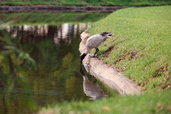Australian Ibis bird drinking water from a lake in Adelaide, South Australia