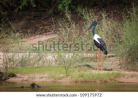 Australian jabiru bird by the Yellow River in Kakadu national pa