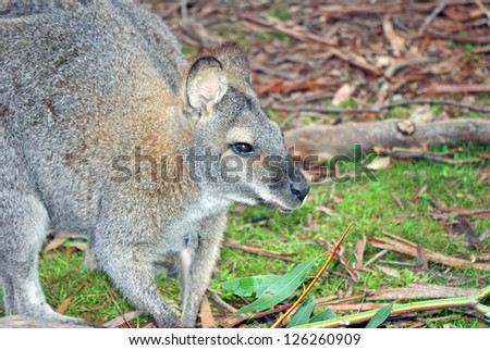 Australian kangaroo in bush setting