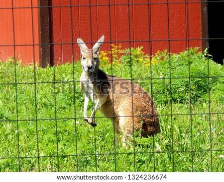 Australian kangaroo marsupial standing in zoo exhibit behind fence