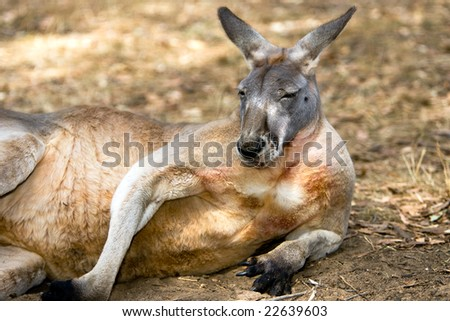 Australian Kangaroo resting on his side - Landscape