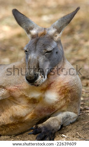 Australian Kangaroo resting on his side - Portrait