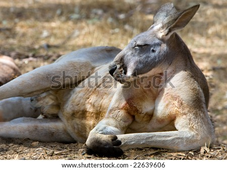 Australian Kangaroo resting on his side - Strong Shoulders