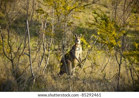 Australian Kangaroo's at sunset in the wild