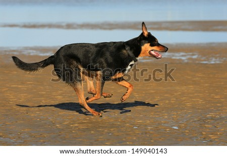 Australian Kelpie dog running on the beach.