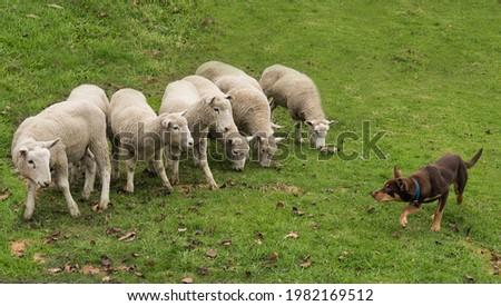 Australian Kelpie herding sheep working dog farm dog  Stockfoto ©