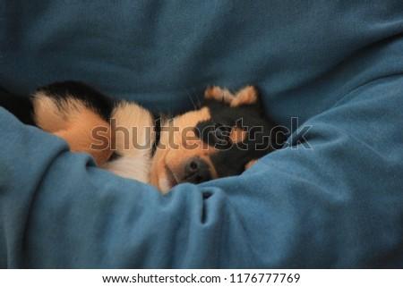 Australian kelpie puppy #1176777769