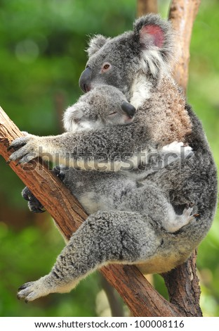 Australian Koala Bear holding her baby or joey in eucalyptus tree, Sydney, NSW, Australia. exotic mammal mum motherhood embrace protective with infant son daughter in tropical jungle rainforest
