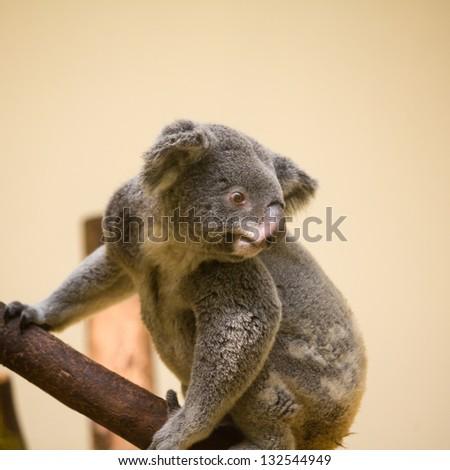 Australian Koala Bear holding onto a tree trunk - stock photo