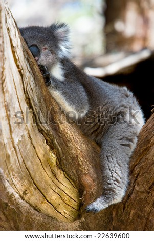 Australian Koala Bear Resting on Tree Branch