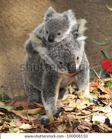 australian koala bear with her baby, sydney, australia grey bear exotic aussie mammal with joey on back walking on tropical rainforest floor