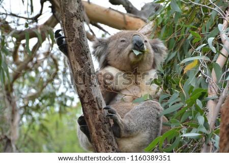 Australian Koala image #1160389351