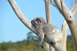 Australian Koala (Phascolarctos cinereus) sleeping in a gum tree. Iconic marsupial mammal of Australia