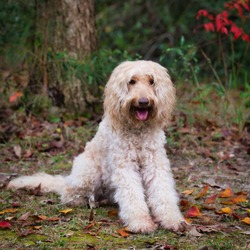 Australian Labradoodle sitting with colorful fall leaves around, posing for the camera.