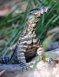 australian lace monitor or goanna standing on tree log, port douglas, queensland, australia