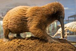 Australian Long Beaked Echidna, Spiny Anteater