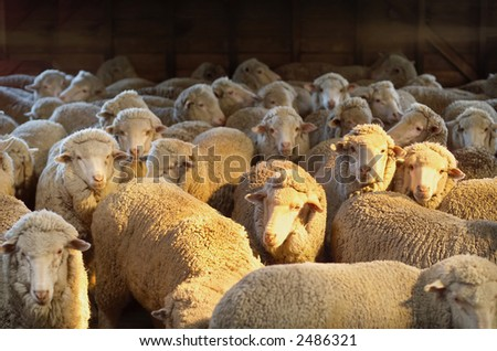 Australian Merino sheep inside shearing shed on farm