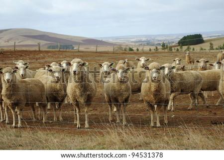 Australian merino sheep on rural sheep farm property looking