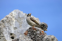 Australian Miner bird on a piece of broken concrete