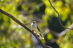 Australian native noisy miner bird perched on a tree branch backlit from the sun, in Adelaide, South Australia
