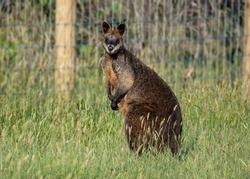 Australian native swamp wallaby kangaroo portrait in grass field roadside