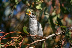 Australian Noisy Miner bird chirping while perched on a tree, in Adelaide; South Australia