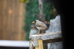 Australian noisy miner bird in the backyard in Adelaide, South Australia