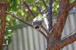Australian noisy miner bird on a tree in a backyard in front of a metal fence