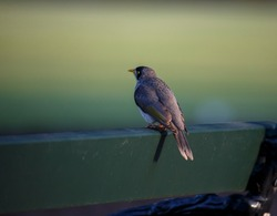 Australian noisy miner bird perched on a green park bench across green grass background on a sunny day, in Adelaide