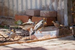 Australian noisy miner birds eating from a bowl