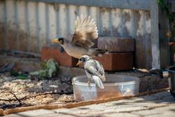 Australian noisy miner birds eating from a bowl in Adelaide, South Australia