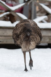 Australian ostrich Emu goes outside on a winter day. Birds in a petting zoo in Russia.