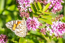 Australian Painted Lady Butterfly Feeding on Hebe Wiri Charm Flowers, Romsey, Victoria, Australia, November 2020