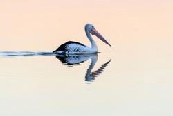 Australian Pelican Reflection Waterscape of Tilligerry Creek at Mallabulla, Port Stephens. NSW, Australia