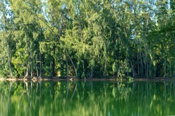 Australian pine trees with green reflection in lake - Wolf Lake Park, Davie, Florida, USA