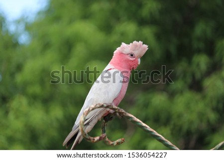 Australian pink Galah cockatoo, native wild bird parrot species, perched on outdoor perch, selective focus, blur tree background, room for copy text #1536054227