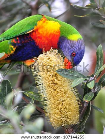 Australian rainbow lorikeet feeding on bottlebrush, byron bay, australia. colorful parrot exotic bird