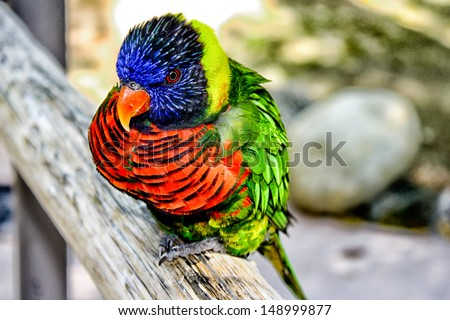 Australian Rainbow Lorikeet (Lori Parrot) #148999877