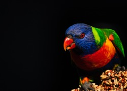 Australian Rainbow Lorikeet Parrot close up