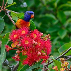 Australian rainbow lorikeet (Trichoglossus moluccas) feeding on nectar from red gum nut blossoms with a background of green gum tree leaves.