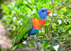 Australian rainbow lorikeets on branch in nature surrounding