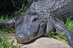 Australian Saltwater Crocodile - Crocodylus Porosus