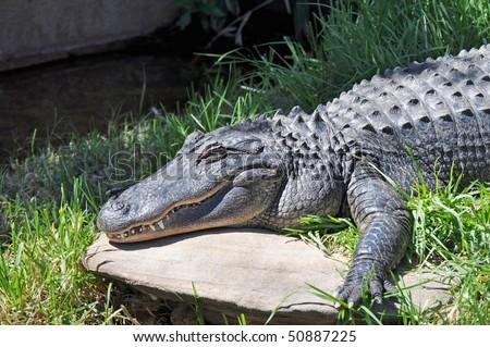 Australian Saltwater Crocodile - Crocodylus Porosus - stock photo