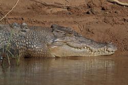 Australian Saltwater Crocodile Daintree River Queensland, Australien