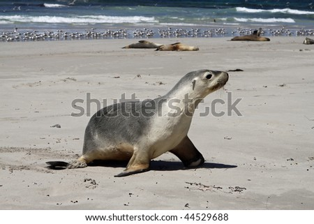 Australian sea lion (Neophoca cinerea)  at seal Bay, Kangaroo Island, South Australia