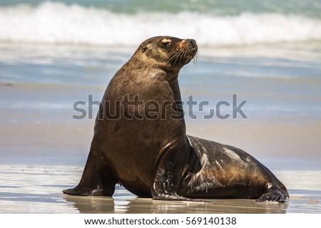 Australian sea lion on the beach sitting upright, Seal Bay, Kangaroo Island, South Australia
