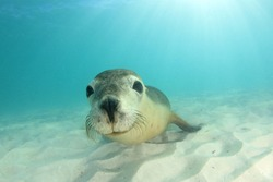 Australian Sea Lion. Underwater photo