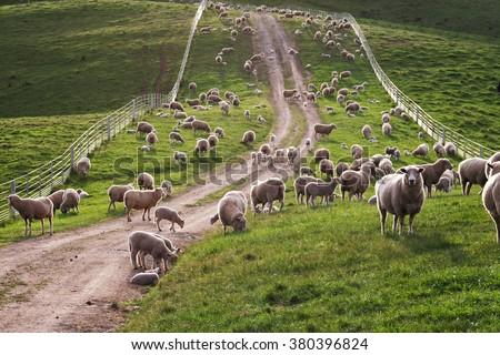 Australian sheep and lambs back lit on a fenced grassy farm road.