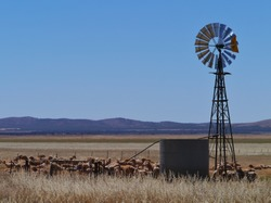Australian sheep at a drinking place with a wind mill on the fields of the outback of South Australia